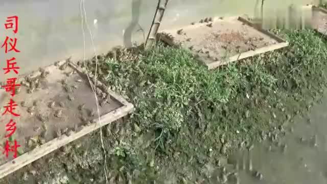 57岁农民工返乡创业养殖青蛙,你知道他六亩稻田一年收入多少吗