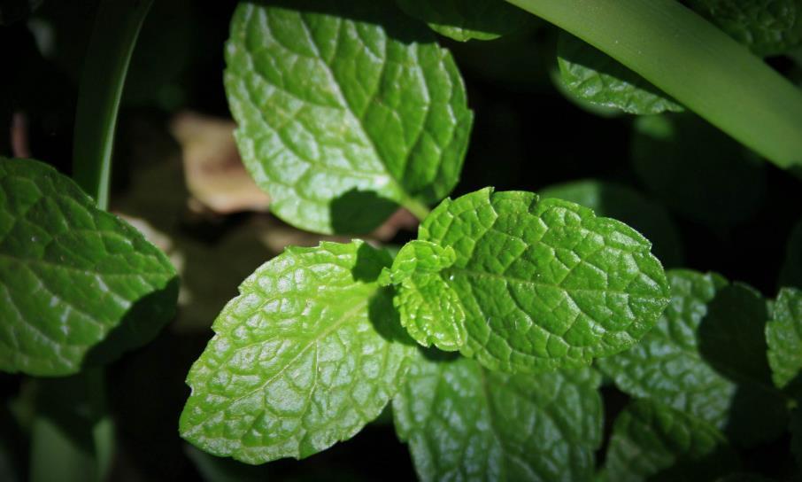 最适合夏天养护的一种植物,驱赶蚊虫能防暑,不用多管爆盆很简单