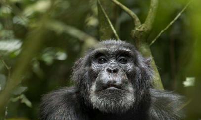 科学家将黑猩猩当人类饲养,最后变成什么样?