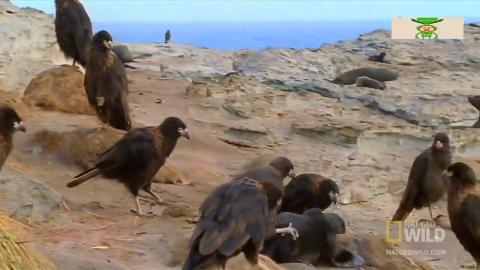 一群老鹰围杀小海豹生死时刻母海豹火速救援镜头拍下全过程