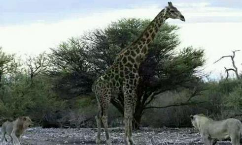 狮子攻击长颈鹿,竟被其一脚踢飞,最后愤怒将其猎杀