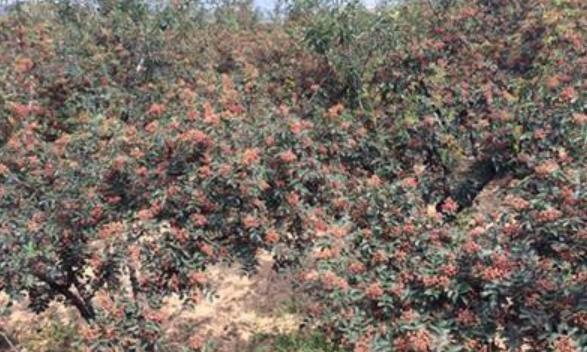 西北地区一些农民大面积的种植花椒树,把小麦等减少,你怎么看?