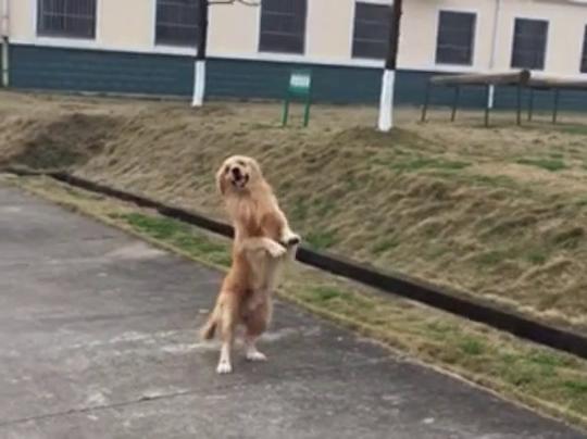 会直立行走的金毛犬