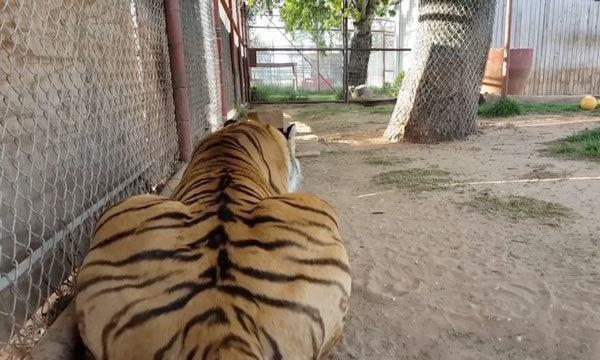 """有人举报动物园用""""猫""""冒充老虎,网友看完视频笑哭""""确定无疑"""""""