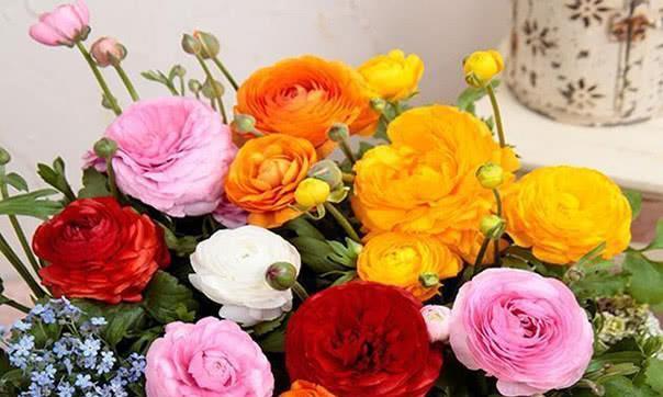 喜欢养花,不如养盆花毛茛,艳丽动人,芬芳优雅,色香双绝