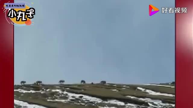 狼群袭击牧场却遭到牧场主人暗算镜头拍下全过程死的太惨烈