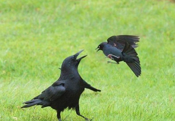 """俗语:""""天下乌鸦一般黑""""什么意思?这句话来源于哪里?"""