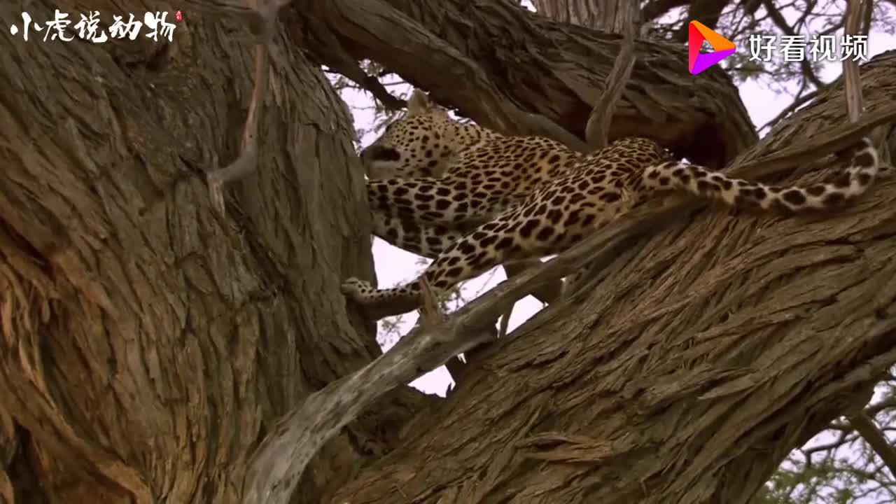 花豹目不转睛盯着树梢看下一秒跳到树上张嘴就啃树皮