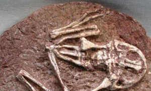 史前巨蛙化石,这种蛙拥有强大的战斗力,靠吃恐龙为生?