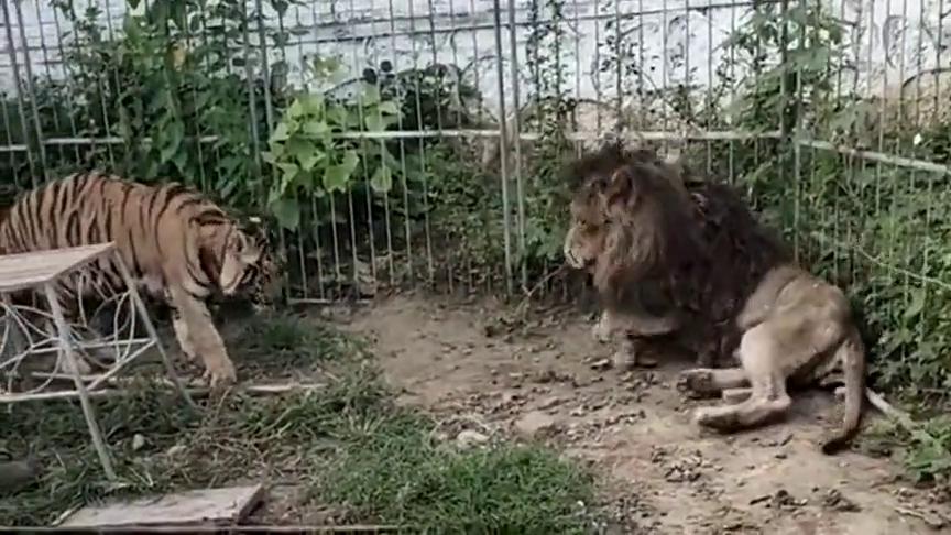 两只老虎挑衅一只雄狮,结果还被吓跑了一只,太怂了!