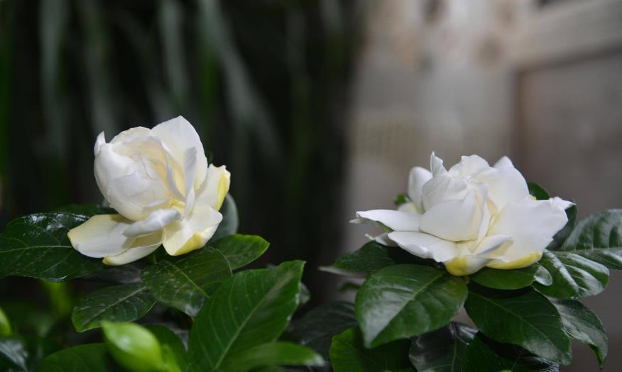 最适合六月份扦插的两种花卉,半月生根俩月开花,爆盆简单味道香