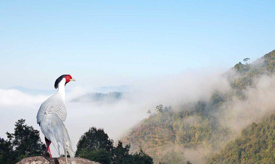 广东省鸟白鹇--体态优雅华丽,性情机警灵敏