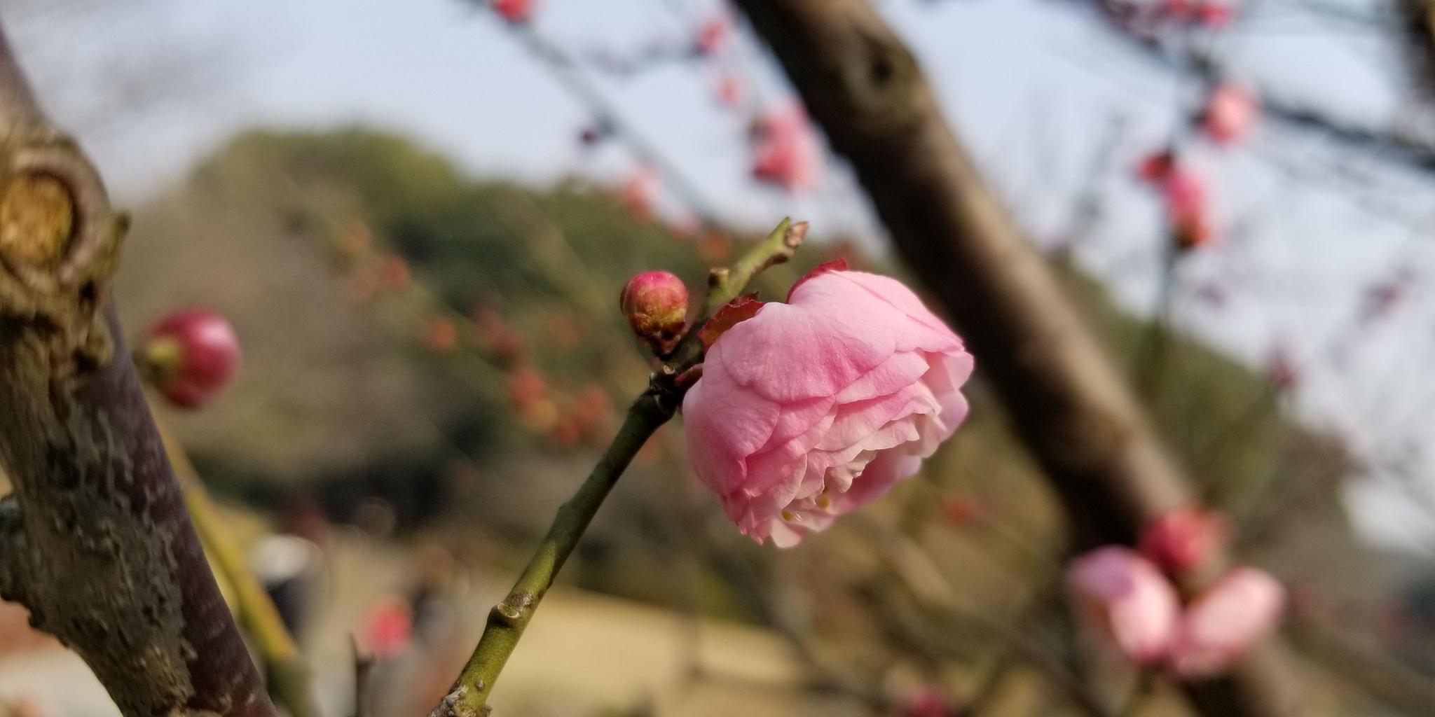 周末无锡鼋头渚里踏青游,意外拍到的这组是梅花还是樱花呢