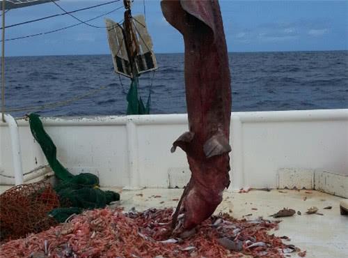 渔民海中捕鱼无意捕获奇异怪鱼,调查后内心崩溃果断放生