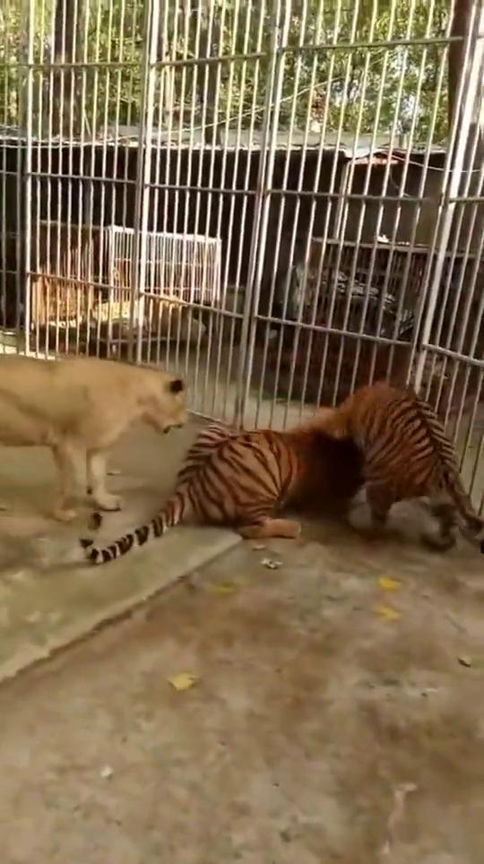 两只老虎玩耍,狮子走上去凑热闹,被老虎一巴掌拍走:秀恩爱呢