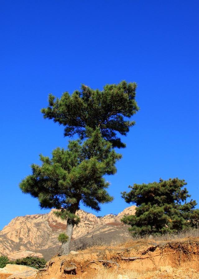 万里树林,松树常青
