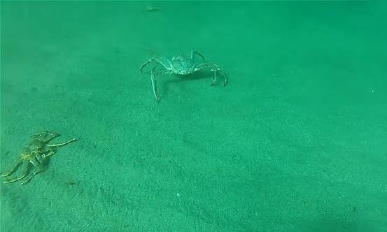 男子潜水捉帝王蟹,看到一只足有10斤的,他的处理方法让网友怒了