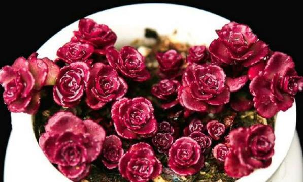 喜欢菊花,不如养盆小球玫瑰,精致纤巧,叶色鲜艳,简直是太美了