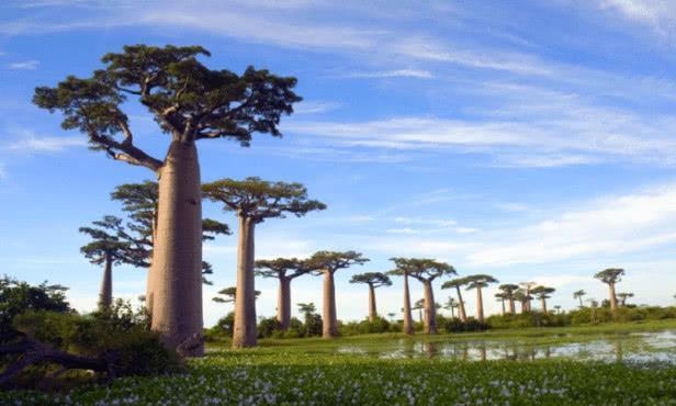 """沙漠中的""""生命之树"""":能储2吨水,引进中国怎么就水土不服了?"""