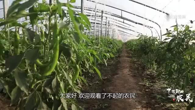 辣椒种植还有讲究辣椒苗生在这种土地上想成活都难建议收藏
