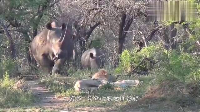一吨重的野牛大战两吨重的犀牛,重量级的对决,结果会怎么样呢?