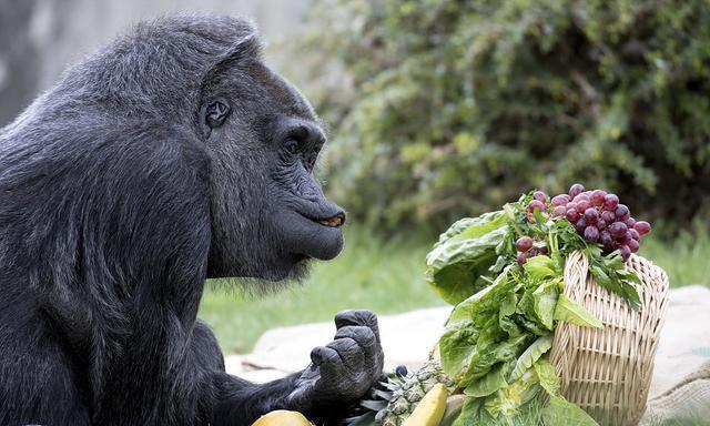 活到60岁的黑猩猩,生日这天得到了一篮好吃的