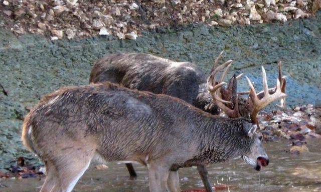 两只麋鹿水中大战争夺配偶,水已血红仍不停手,最后竟双双毙命