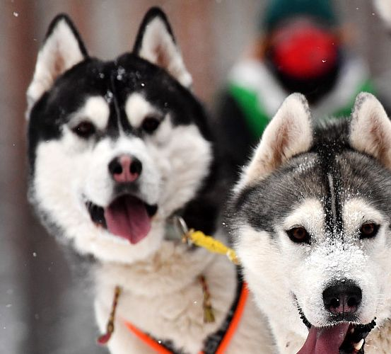 """白俄罗斯举办狗拉雪橇节,雪橇犬""""牵""""主人雪地狂奔"""