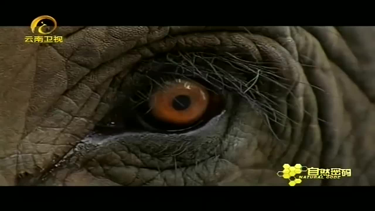 大象的情感丰富忍受不住人类的压力时会将驯养它的人类杀死