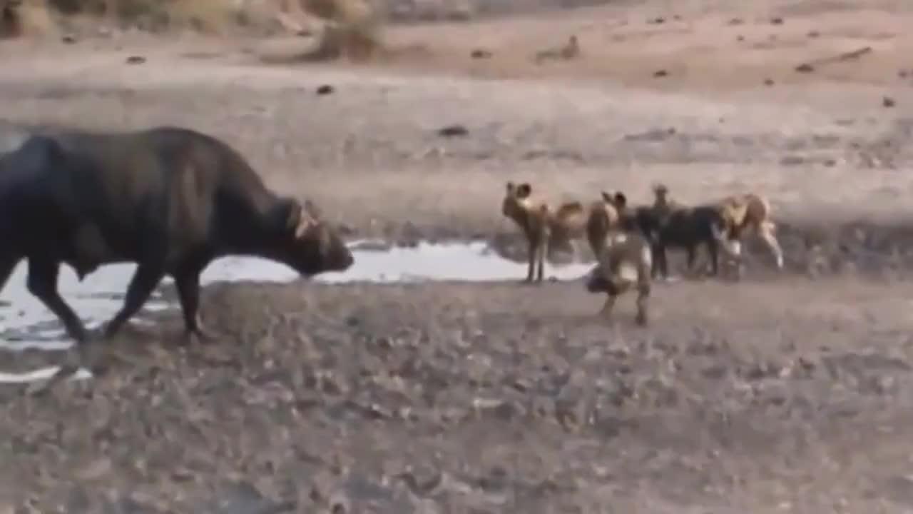 野狗群特殊捕食技巧分工明确专咬弱点就连大水牛都招架不住