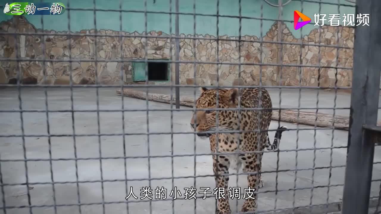 母豹想睡觉小豹子总是捣乱不安分没想到母豹却这样解决