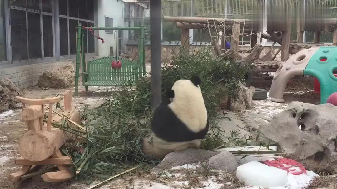 萌兰吃竹笋真香北京动物园大熊猫每天上午十点进食准时来看