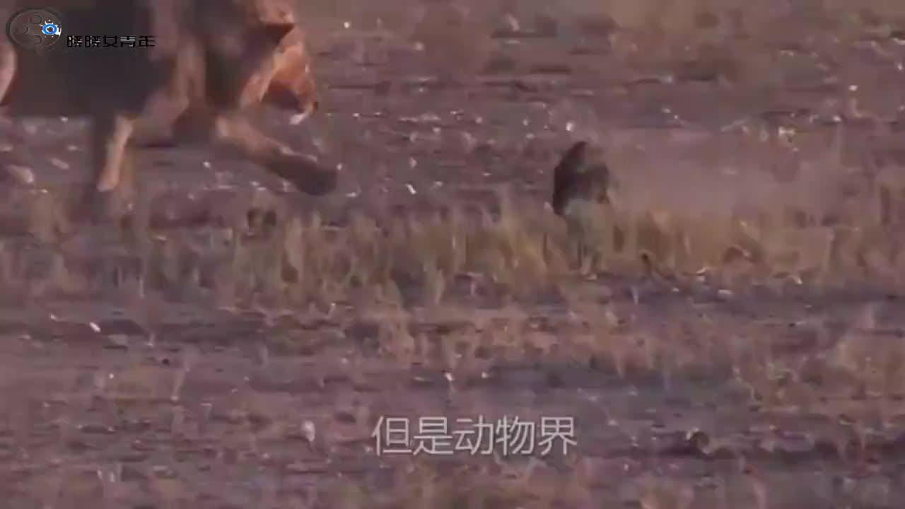 二哈挑衅美洲野牛怎料野牛冲破铁栅栏镜头记录下全过程