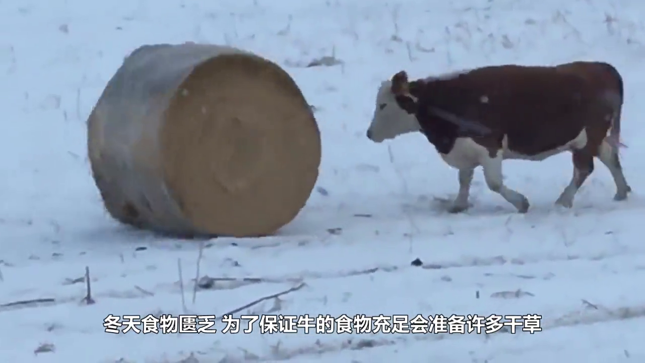 奶牛吃草主人用叉车把草抓起来,牛气得直跺脚,太搞笑了