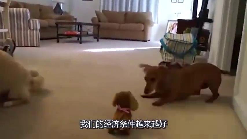 主人怕狗狗孤单,竟然买了个玩具狗回来,狗狗的举动十分滑稽