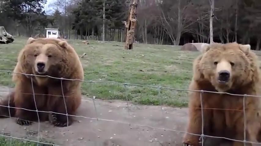 游客拿食物给棕熊吃,棕熊竟然伸出爪子向游客挥手,场面令人暖心
