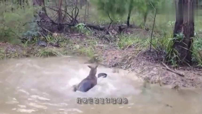 狗狗随主人打猎,不幸被豹子袭击,镜头记下全过程