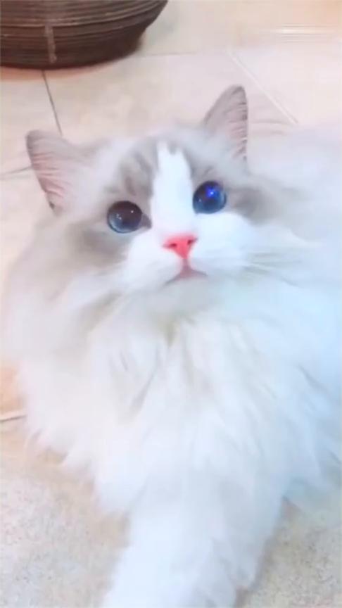 布偶猫的眼睛,星辰大海算什么,这眼睛简直太美了