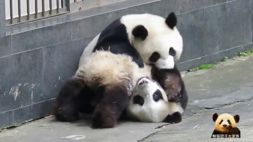 """可怜的熊猫宝宝被别熊欺负成了""""球"""":奶爸奶妈快来救我呀!"""