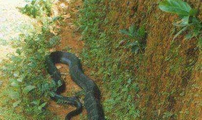 蛇王眼镜王蛇,不仅欺负蟒蛇,交配遭拒后甚至六亲不认!