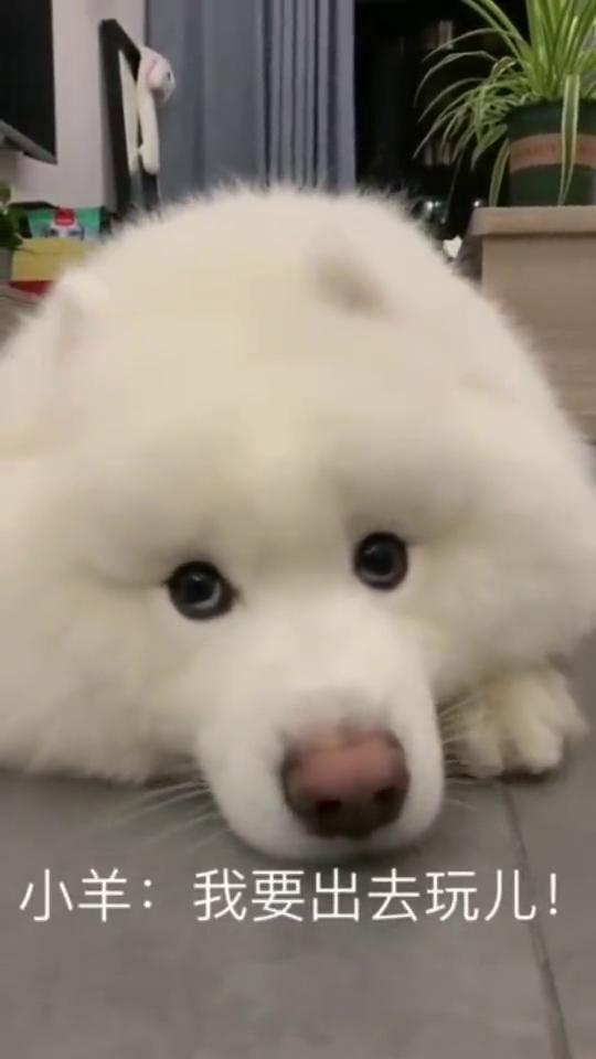 想出去玩,完事主动上套的萨摩耶,这狗子成精了啊