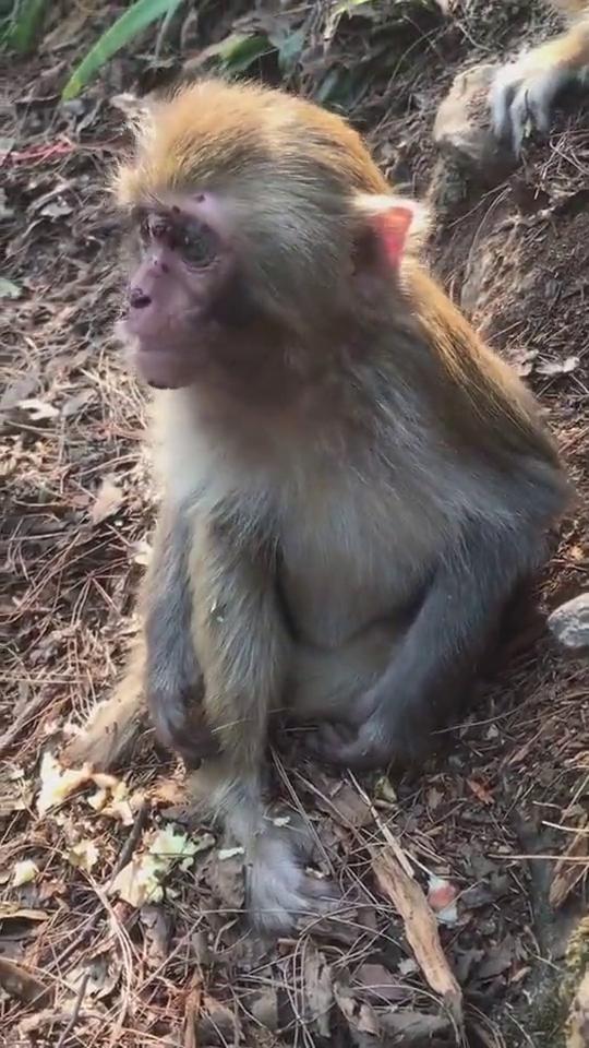 小家伙太可怜了,单独喂喂它!要不然会被其他猴子抢走的