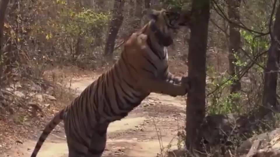 老虎暴尸于河边解剖尸体后发现一件更令人心痛的事