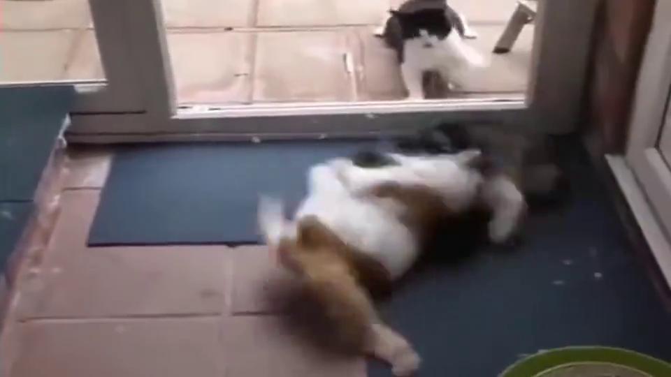两只猫咪争宠吵架,这是说的啥,猫语十级帮忙翻译一下!
