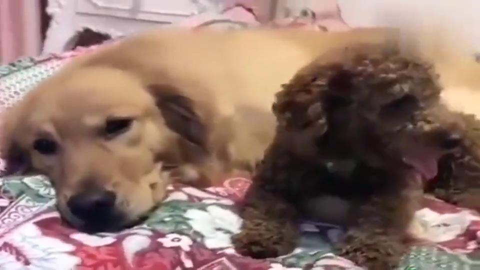 妞妞趴在床上,小泰迪左瞧瞧右看看,简直太可爱啦