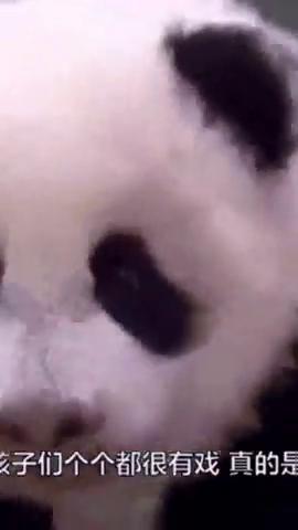 """熊猫宝宝亮相""""捂耳朵"""",国宝:萌死你们!"""