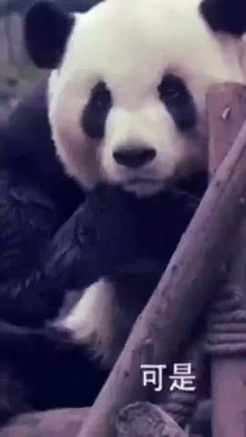 我恐怕是遇到了假熊猫!熊猫:我是谁奶妈已经放弃我了?
