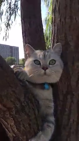 第一次爬树的喵星人,爬的高,看得远,这是要欣赏诗和远方了吗?
