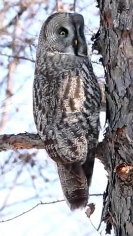 厉害了猫头鹰,360度旋转头,身体竟一动不动!