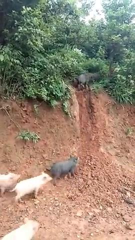 家猪只要放养久了,也能飞檐走壁如履平地,动作和猫一样敏捷啊